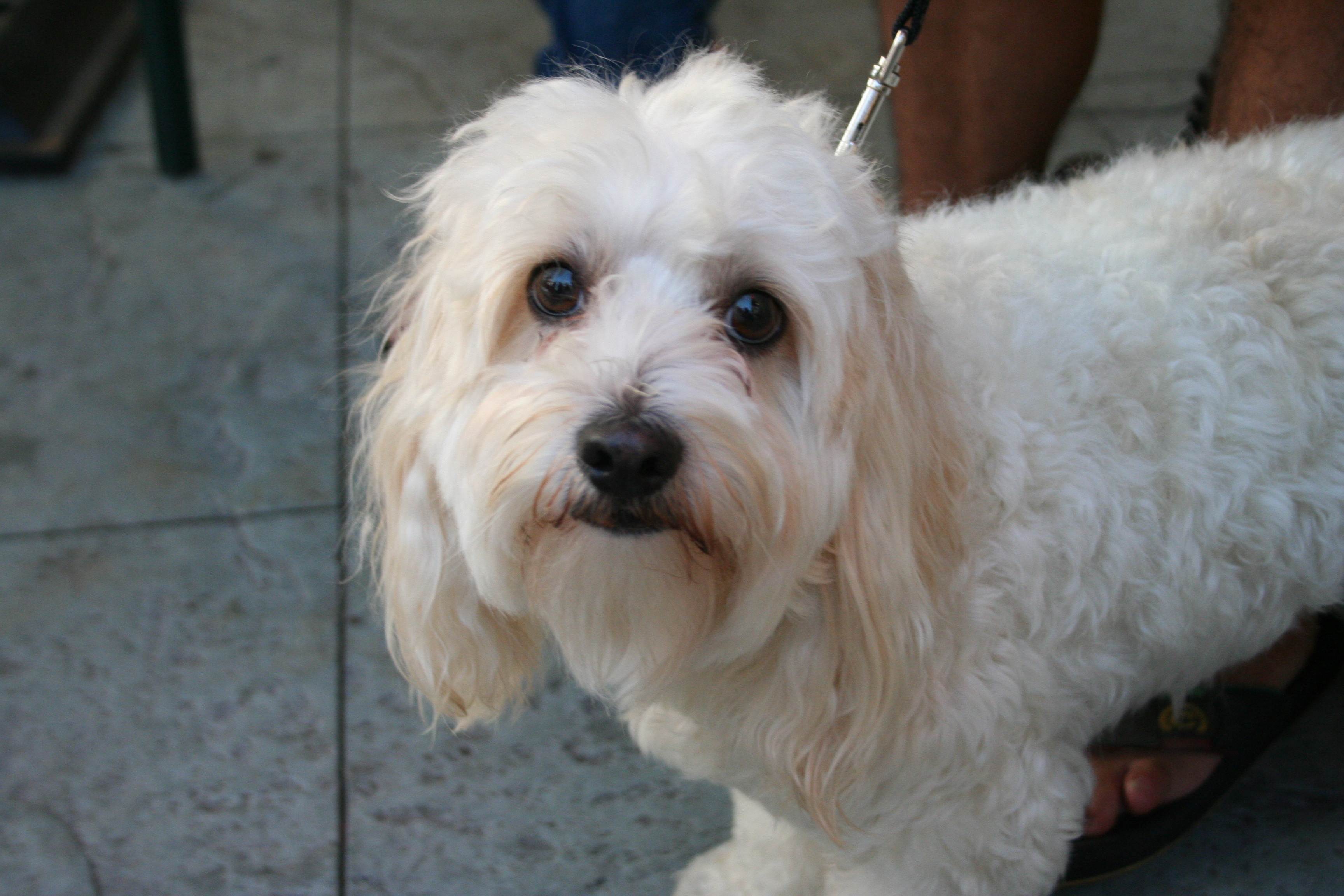 Adult Shih Tzu Maltese Mix